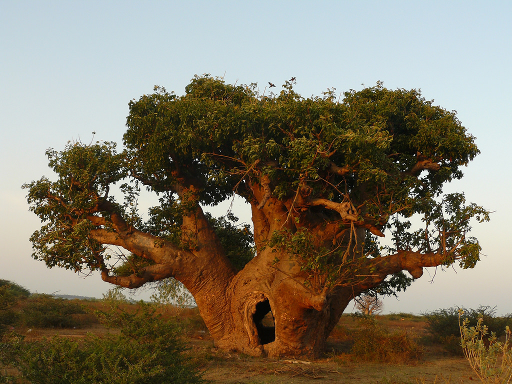 My Relationship with the Baobab Tree